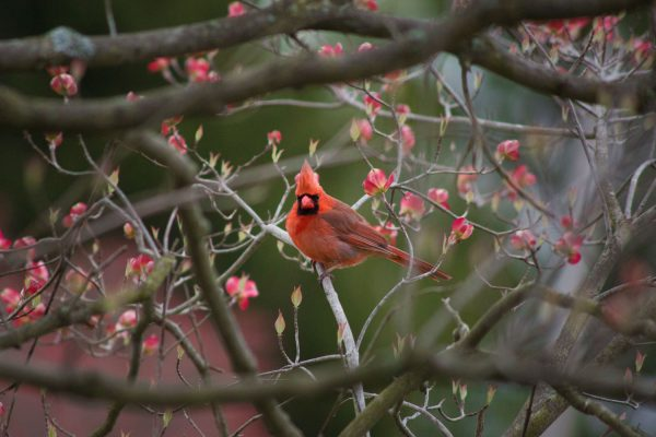 MaleNorthernCardinal
