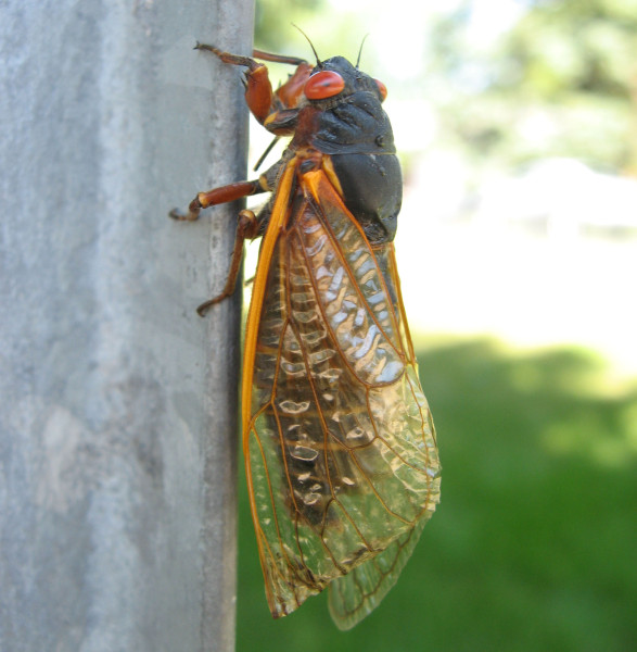 The Periodical Cicada lands on just about anything, including human beings.