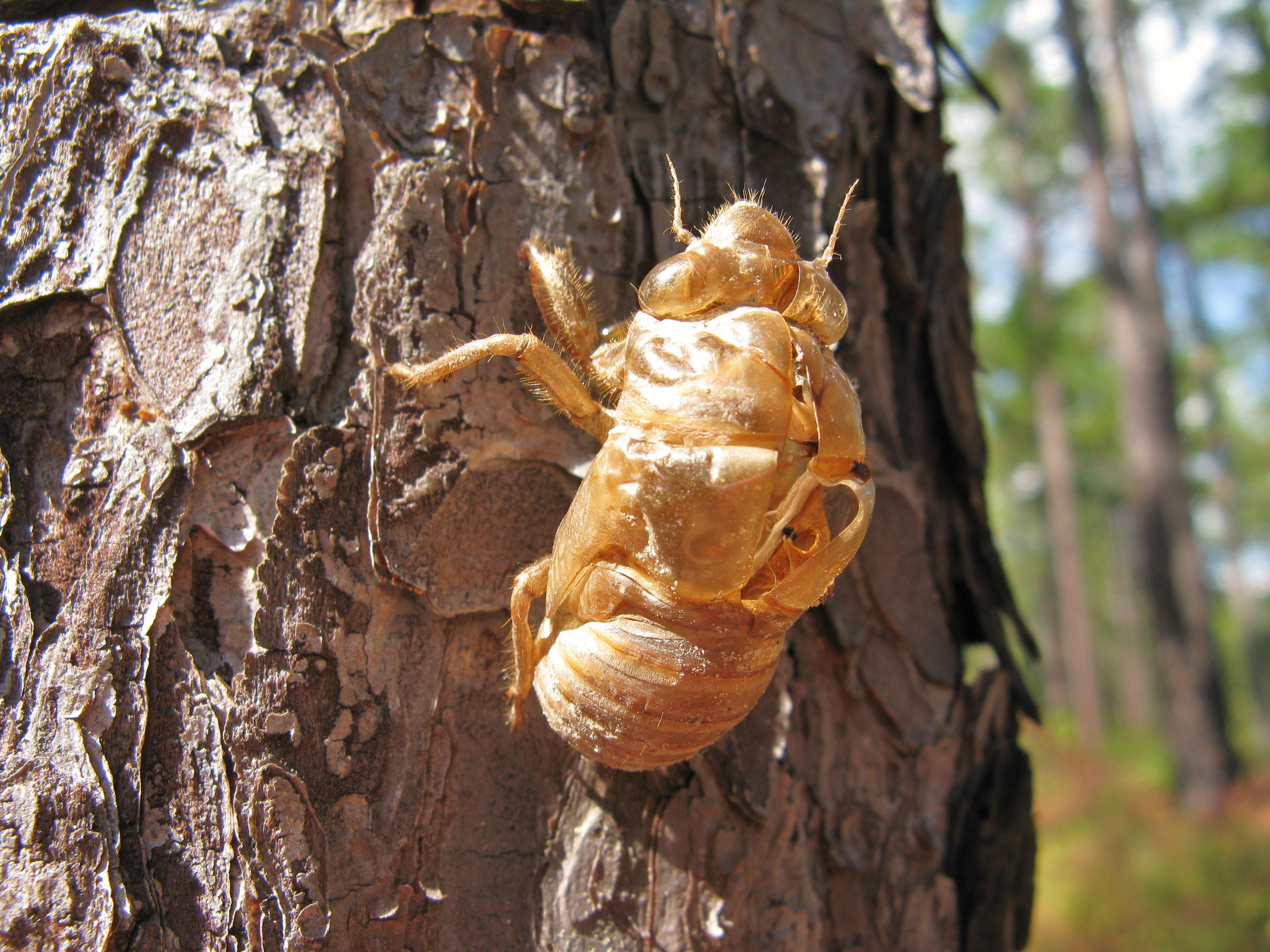 cr4 blog entry 17yearold cicadas are coming to the