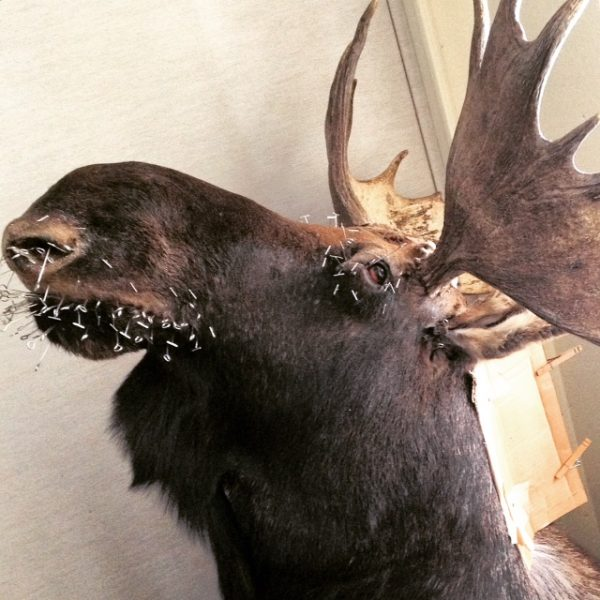 close moose mount (1)