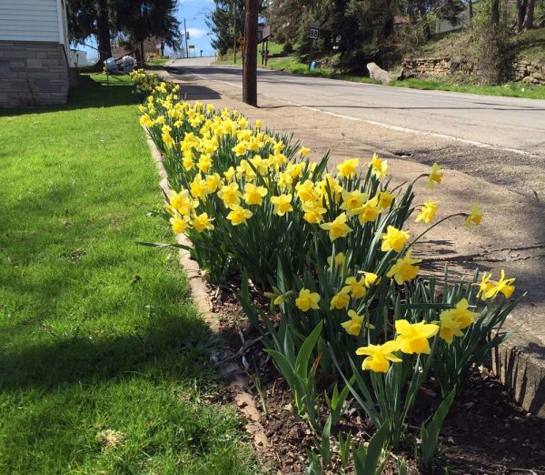 Betty's Daffodills on Easter
