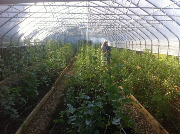 The high tunnel greenhouses on Wheeling Hill have allowed Grow Ohio Valley to beat the heat this summer.