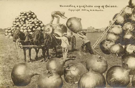 Harvesting Onions Postcard