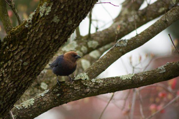 Brown-HeadedCowBird