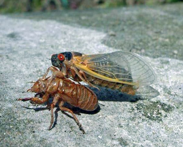 The adult periodical cicada emerges from its 17-year nymph stage, molts and  arises as a winged adult. This spring will see the return of the large, colorful, fly-like bugs with large eyes and tented wings. (Bob Rabaglia/U.S. Forest Service)