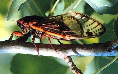 Cicada laying eggs