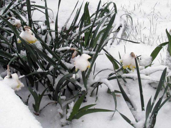 Daffodills Snow
