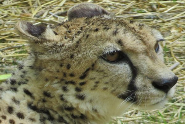 The cheetah exhibit is new to Good Zoo.