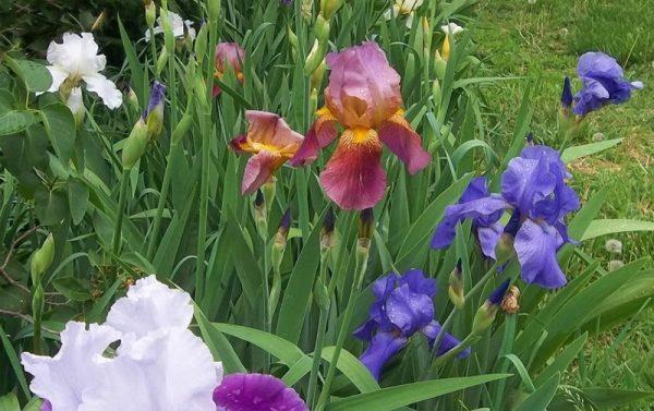Iris Picture