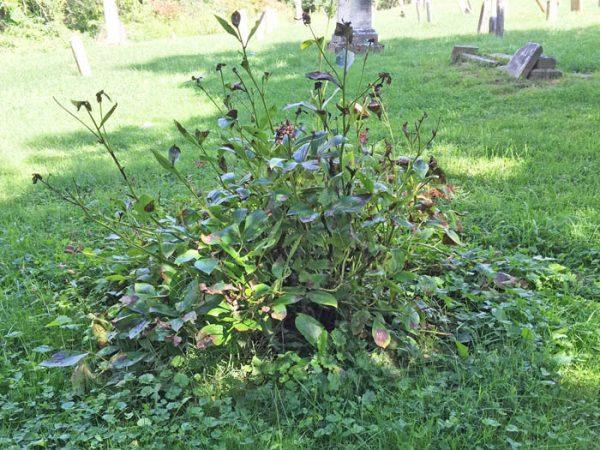 Cemetery Peony