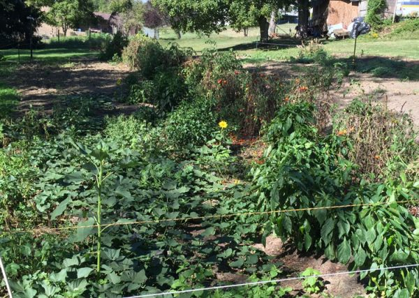 garden-overview-tomatoes