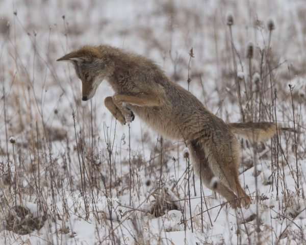Coyotes: Truth, Myth and What We're Getting Wrong – Weelunk