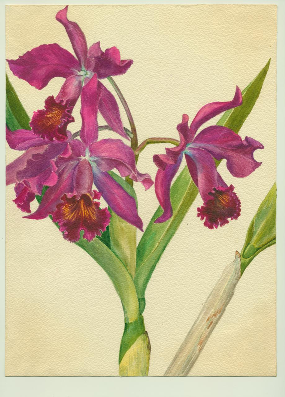 Adelaide Stifel orchid